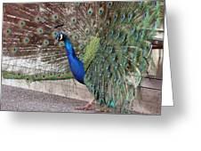 Peacock - 0015 Greeting Card