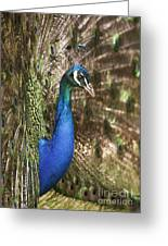 Peacock Display Greeting Card by Richard Garvey-Williams