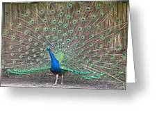 Peacock Finery On Display Greeting Card