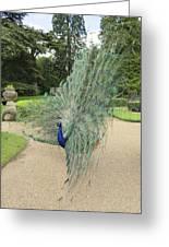 Peacock Glory Greeting Card