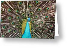 Peacock Plumage Feathers Greeting Card