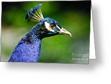 Peacock Portrait Greeting Card by John Kelly
