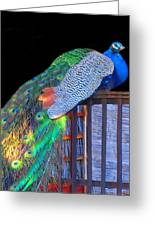Peacock Poses Greeting Card