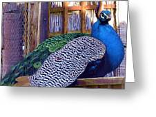 Peacock Roosts Greeting Card