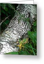 Pecked Birch Greeting Card