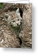 Peeking Out - Bobcat Kitten Greeting Card