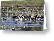Pelicans At Knuckey Lagoon Greeting Card
