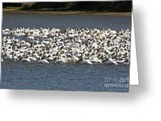 Pelican's Feeding Greeting Card