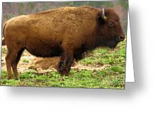 Pennsylvania Bison Greeting Card