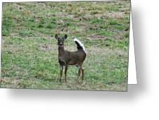 Pennsylvania White Tail Deer Greeting Card