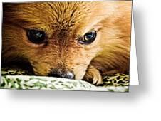Pensive Pomeranian Greeting Card