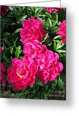 Peony Named Karl Rosenfield Greeting Card