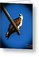 Perching Osprey Greeting Card