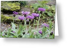 Perennial Cornflowers 'parham' Greeting Card