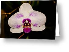 Phalaenopsis White Orchid Greeting Card