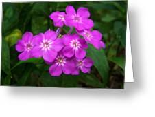 Phlox In Bloom Greeting Card