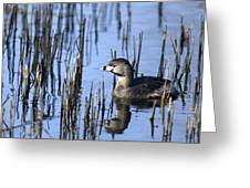 Pied-billed Grebe, Montreal Botanical Greeting Card