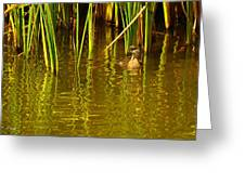 Pied-billed Grebe Near The Reeds Greeting Card