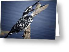 Pied Kingfisher Eating Greeting Card