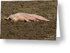 Pig In Mud Greeting Card