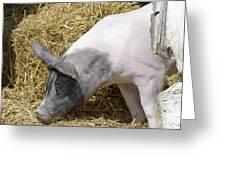 Piggy Piggy In The Straw Greeting Card