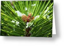 Pine Cone Cloeup Greeting Card