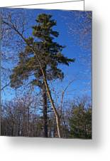 Pine Tree Standing Tall Greeting Card