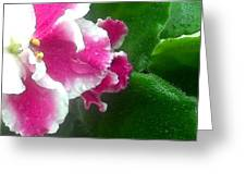 Pink African Violets And Leaves Greeting Card