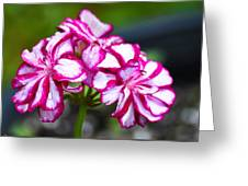 Pink And White Geraniums Greeting Card