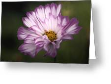 Pink And White Ruffled Cosmos Greeting Card