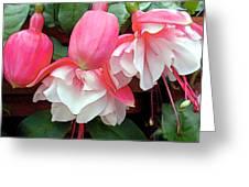 Pink And White Ruffled Fuschias Greeting Card