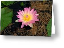 Pink And Yellow Water Lily Greeting Card