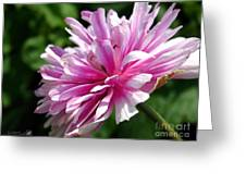 Pink Anemone From The St Brigid Mix Greeting Card