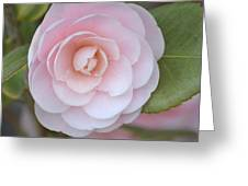 Pink Camellia Flower In Spring Greeting Card
