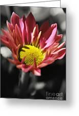 Pink Chrysanthemum Greeting Card
