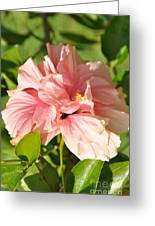 Pink Double Hibiscus Greeting Card