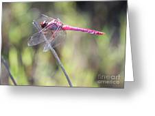 Pink Dragonfly In The Marsh Greeting Card