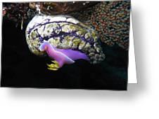 Pink Durid Nudibranch Greeting Card