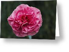 Pink Flower (dianthus 'clare') Greeting Card