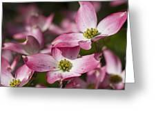 Pink Flowering Dogwood - Cornus Florida Rubra Greeting Card