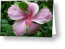 Pink Hibiscus Greeting Card by Gregory Young