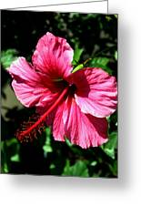 Pink Hibiscus2 Greeting Card