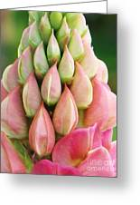 Pink Lupine Buds Greeting Card
