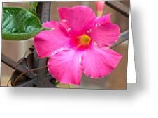Pink Mandevilla Greeting Card
