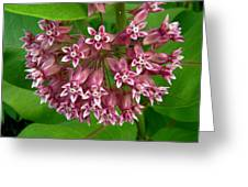 Pink Milkweed Greeting Card