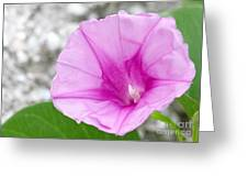 Pink Morning Glory Flower Greeting Card