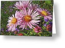 Pink New York Aster- Symphyotrichum Novi-belgii Greeting Card