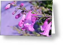 pink Penstemon  Greeting Card by Saifon Anaya
