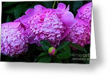 Pink Peonies In The Rain Greeting Card