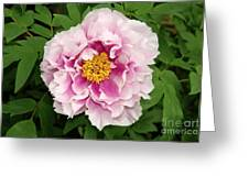 Pink Peony Flowers Series 1 Greeting Card
